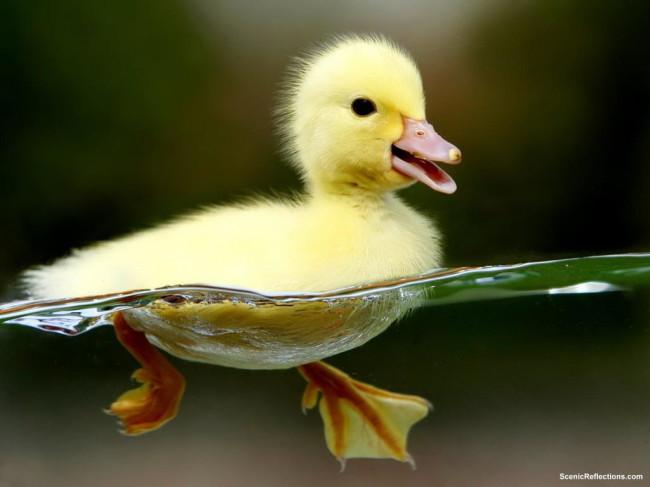 Cute_duck_in-water-wallpaper