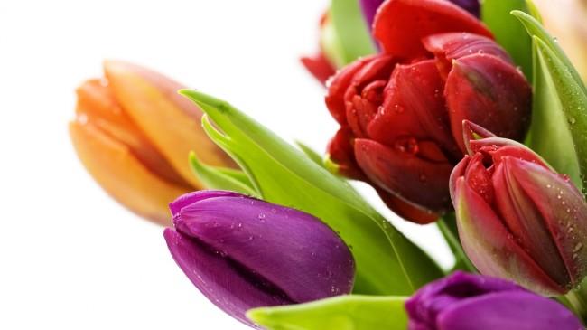 beautiful-different-coloured-tulip