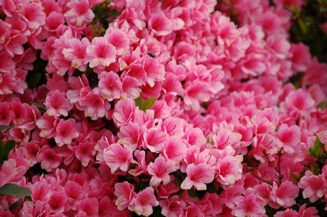 beautiful-pink-flowers