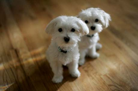 furry white puppies